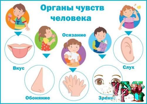 Органы чувств человека. Плакат для детского сада