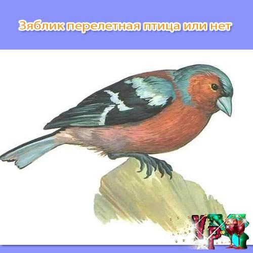 Зяблик перелетная птица или нет? Ответ с фото
